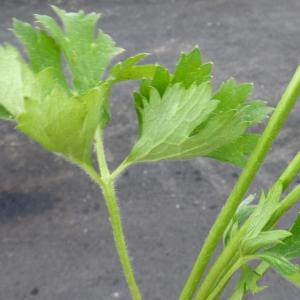 Photographie n°1416877 du taxon Ranunculus macrophyllus Desf.