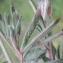 Liliane Roubaudi - Trifolium arvense L. [1753]