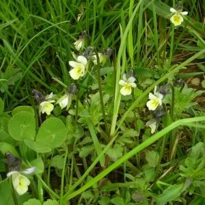 Photographie n°1417383 du taxon Viola arvensis Murray [1770]