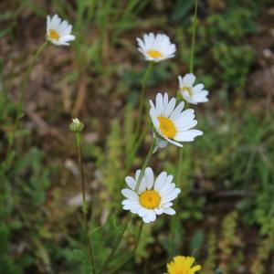 Photographie n°1417894 du taxon Leucanthemum vulgare Lam. [1779]