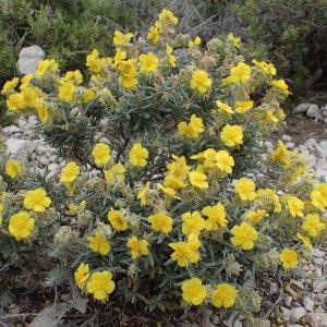 Photographie n°1418799 du taxon Helianthemum syriacum (Jacq.) Dum.Cours. [1802]