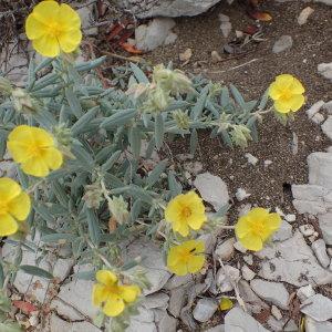 Photographie n°1418817 du taxon Helianthemum syriacum (Jacq.) Dum.Cours. [1802]
