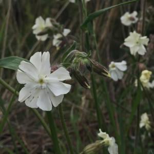 Photographie n°1419975 du taxon Silene latifolia subsp. alba (Mill.) Greuter & Burdet [1982]