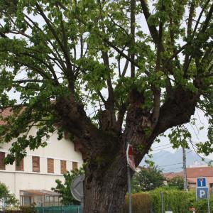Photographie n°1421859 du taxon Mûrier blanc