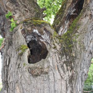 Photographie n°1422294 du taxon Mûrier blanc