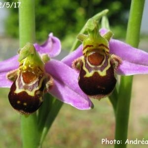 Photographie n°1424593 du taxon Ophrys apifera Huds. [1762]