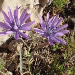 Photographie n°1426956 du taxon Lactuca perennis L.