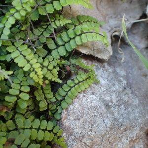 Photographie n°1426972 du taxon Asplenium trichomanes subsp. pachyrachis (H.Christ) Lovis & Reichst. [1980]