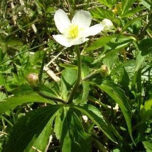 Photographie n°1427645 du taxon Ranunculus aconitifolius L. [1753]