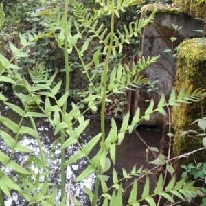 Photographie n°1428149 du taxon Osmunda regalis L. [1753]