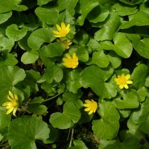 Photographie n°1429149 du taxon Ficaria verna subsp. verna