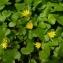 Sylvain Piry - Ficaria verna subsp. verna