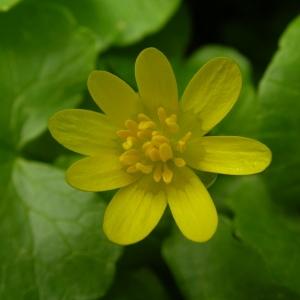 Photographie n°1429154 du taxon Ficaria verna subsp. verna