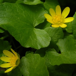 Photographie n°1429157 du taxon Ficaria verna subsp. verna