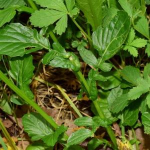 Photographie n°1433634 du taxon Barbarea vulgaris R.Br.