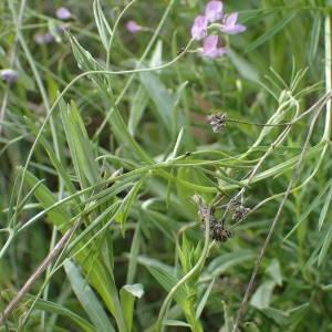 Photographie n°1434600 du taxon Ervum gracile (Lois.) DC.
