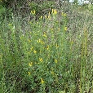 Photographie n°1434604 du taxon Trigonella officinalis (L.) Coulot & Rabaute [2013]