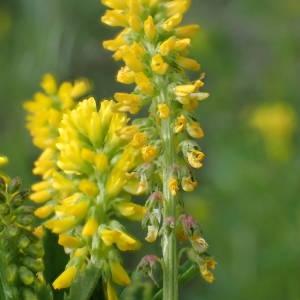 Trigonella officinalis (L.) Coulot & Rabaute (Mélilot jaune)