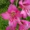 Florent Beck - Gladiolus communis L. [1753]
