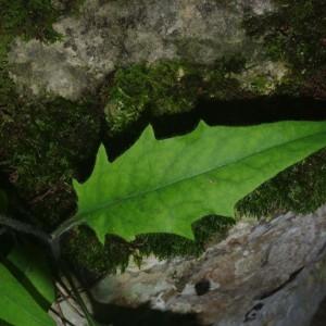 Photographie n°1444413 du taxon Hieracium laevigatum Willd. [1803]