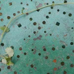 Photographie n°1450112 du taxon Saxifraga granulata L.