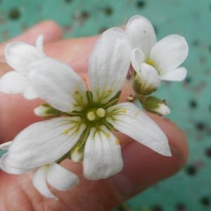 Photographie n°1450131 du taxon Saxifraga granulata L.