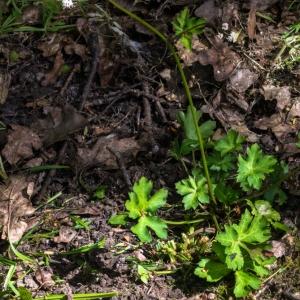 Photographie n°1456222 du taxon Sanicula europaea L.