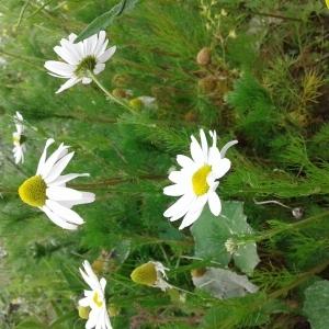 Photographie n°1463042 du taxon Tripleurospermum inodorum (L.) Sch.Bip. [1844]