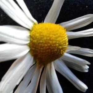 Photographie n°1463046 du taxon Tripleurospermum inodorum (L.) Sch.Bip. [1844]