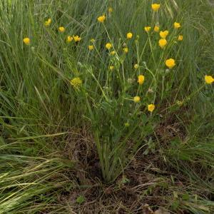 Photographie n°1464222 du taxon Ranunculus bulbosus L. [1753]