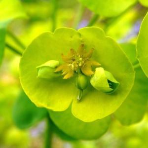 Euphorbia amygdaloides L. subsp. amygdaloides (Euphorbe à feuilles d'amandier)