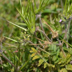 Photographie n°1466449 du taxon Erodium moschatum (L.) L'Hér. [1789]