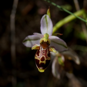Ophrys scolopax Cav. (Ophrys bécasse)