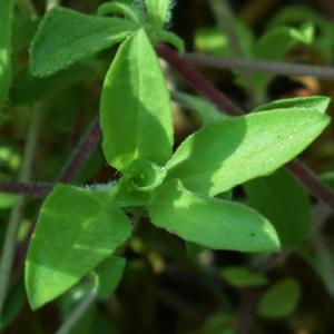 Photographie n°1472011 du taxon Saponaria ocymoides L.