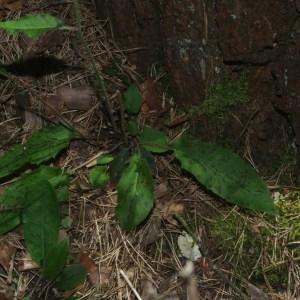 Photographie n°1473390 du taxon Hieracium maculatum Schrank [1789]