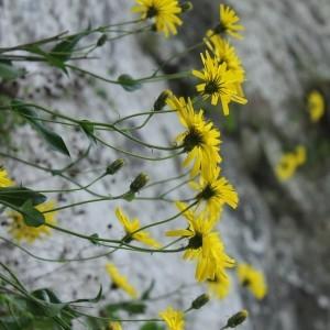 Photographie n°1473867 du taxon Hieracium cerinthoides L. [1753]