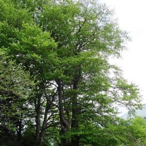 Photographie n°1473926 du taxon Fagus sylvatica L.
