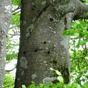 Photographie n°1473944 du taxon Fagus sylvatica L.