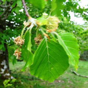 Photographie n°1473959 du taxon Fagus sylvatica L.