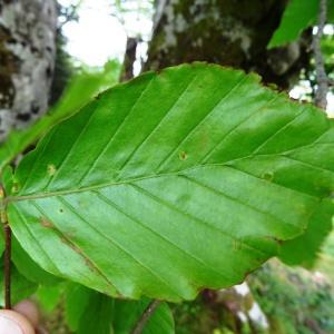 Photographie n°1473998 du taxon Fagus sylvatica L.
