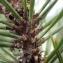 Sylvain Piry - Pinus nigra subsp. salzmannii (Dunal) Franco