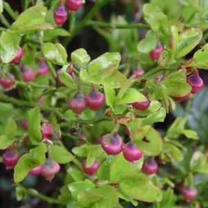 Photographie n°1483006 du taxon Vaccinium myrtillus L.