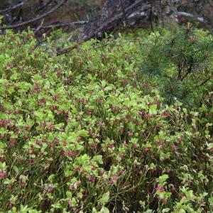 Photographie n°1483024 du taxon Vaccinium myrtillus L.