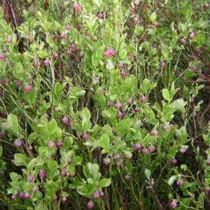 Photographie n°1483051 du taxon Vaccinium myrtillus L.