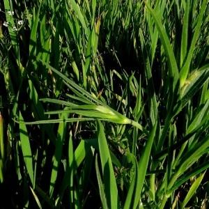 Photographie n°1483576 du taxon Agrostemma githago L. [1753]