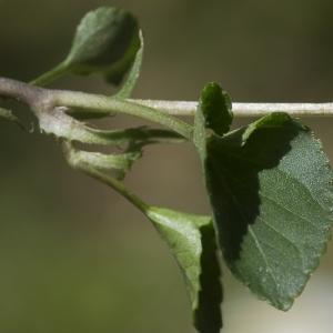 Photographie n°1483833 du taxon Viola riviniana Rchb.