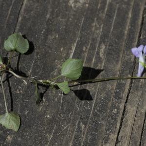 Photographie n°1483837 du taxon Viola riviniana Rchb.