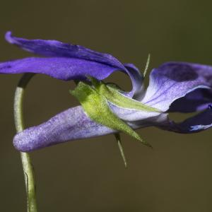 Photographie n°1483839 du taxon Viola riviniana Rchb.