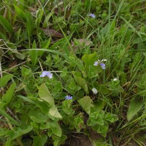 Photographie n°1486561 du taxon Veronica chamaedrys L. [1753]