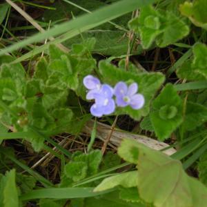 Photographie n°1486563 du taxon Veronica chamaedrys L. [1753]